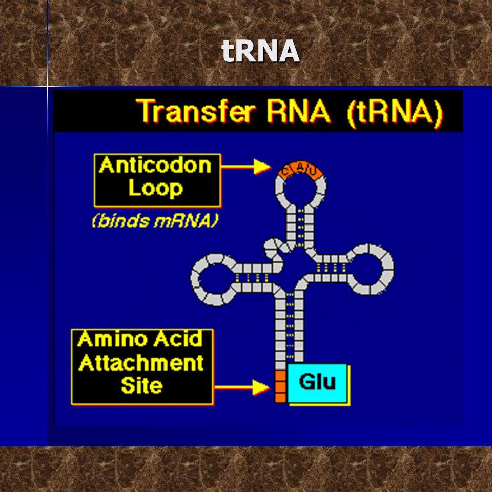 Ribosom  Ribosom adalah organel di dalam sel tempat terjadinya sintesis protein.