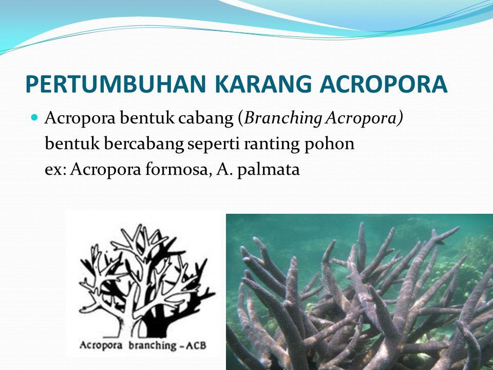 PERTUMBUHAN KARANG ACROPORA  Acropora bentuk cabang (Branching Acropora) bentuk bercabang seperti ranting pohon ex: Acropora formosa, A. palmata