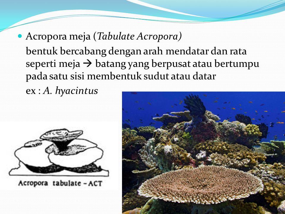  Acropora meja (Tabulate Acropora) bentuk bercabang dengan arah mendatar dan rata seperti meja  batang yang berpusat atau bertumpu pada satu sisi membentuk sudut atau datar ex : A.