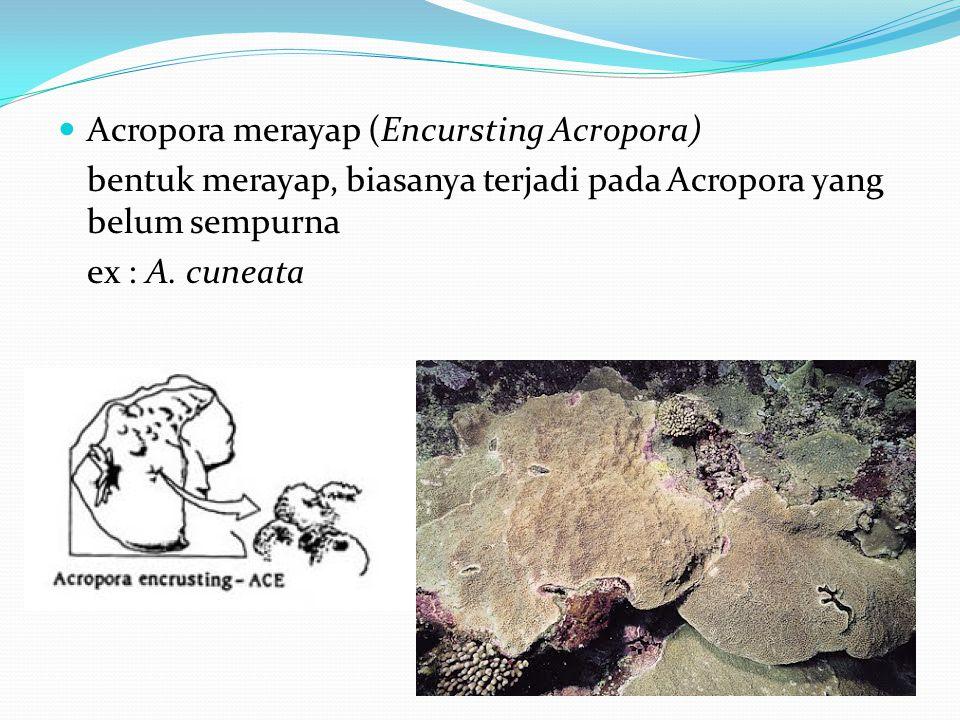  Acropora merayap (Encursting Acropora) bentuk merayap, biasanya terjadi pada Acropora yang belum sempurna ex : A. cuneata