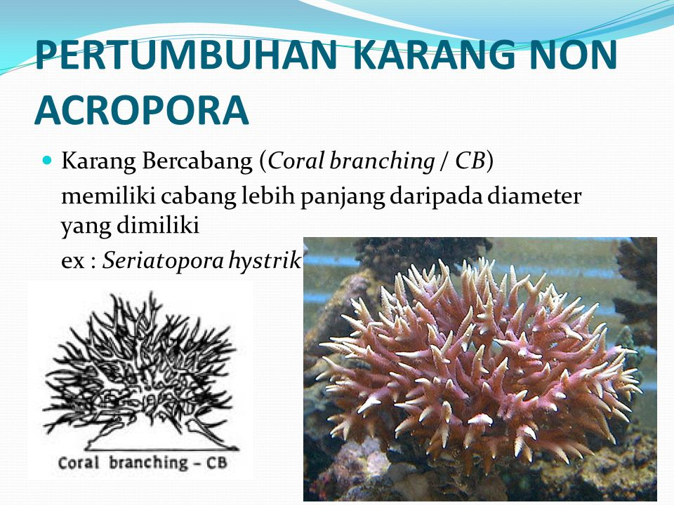 PERTUMBUHAN KARANG NON ACROPORA  Karang Bercabang (Coral branching / CB) memiliki cabang lebih panjang daripada diameter yang dimiliki ex : Seriatopo