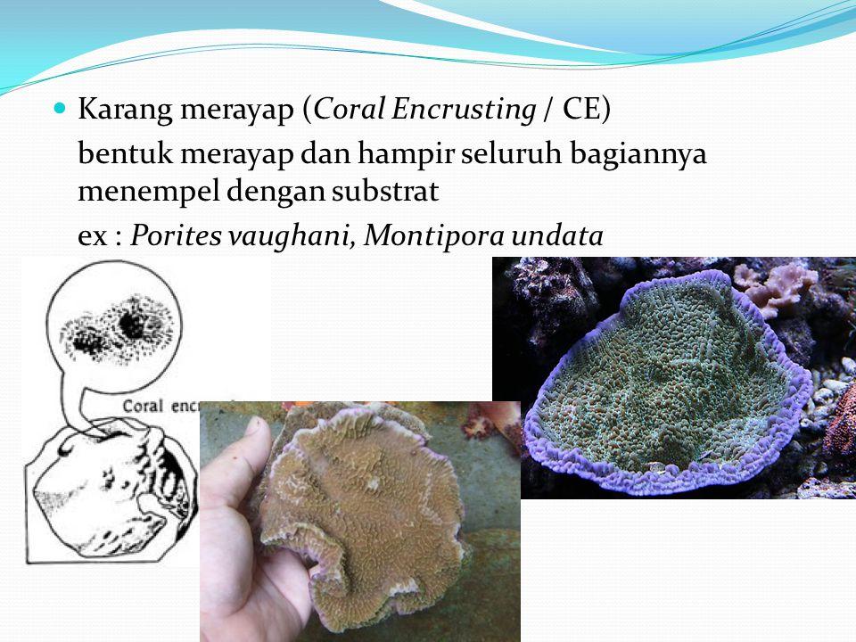  Karang merayap (Coral Encrusting / CE) bentuk merayap dan hampir seluruh bagiannya menempel dengan substrat ex : Porites vaughani, Montipora undata