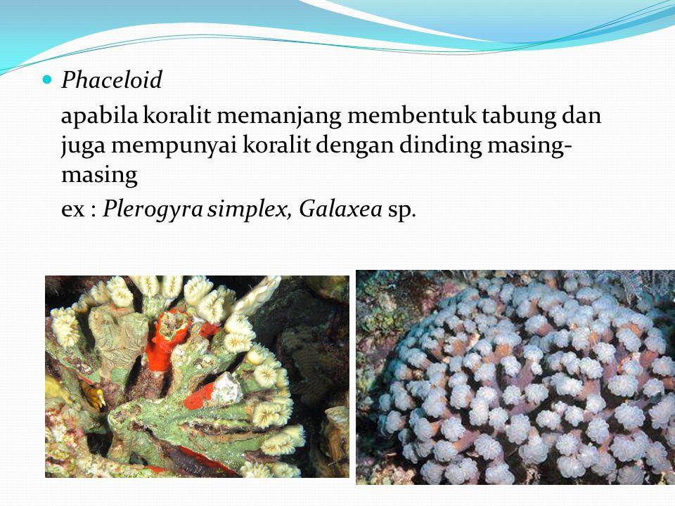  Phaceloid apabila koralit memanjang membentuk tabung dan juga mempunyai koralit dengan dinding masing- masing ex : Plerogyra simplex, Galaxea sp.