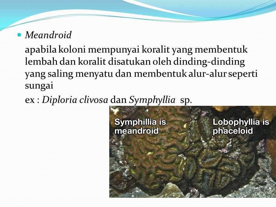  Meandroid apabila koloni mempunyai koralit yang membentuk lembah dan koralit disatukan oleh dinding-dinding yang saling menyatu dan membentuk alur-alur seperti sungai ex : Diploria clivosa dan Symphyllia sp.