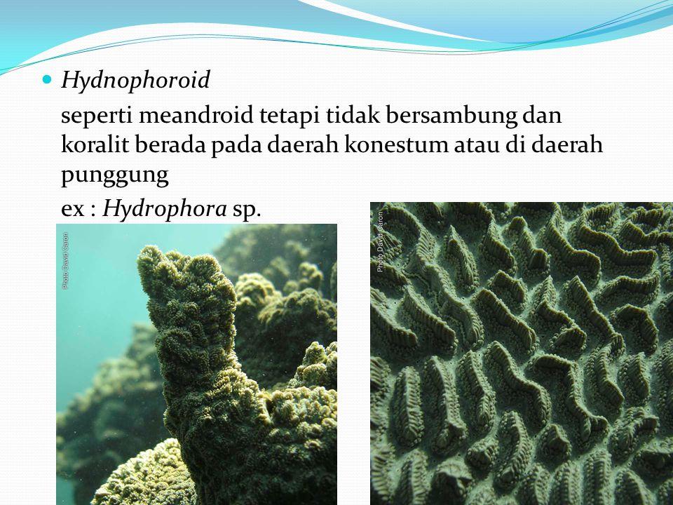  Hydnophoroid seperti meandroid tetapi tidak bersambung dan koralit berada pada daerah konestum atau di daerah punggung ex : Hydrophora sp.