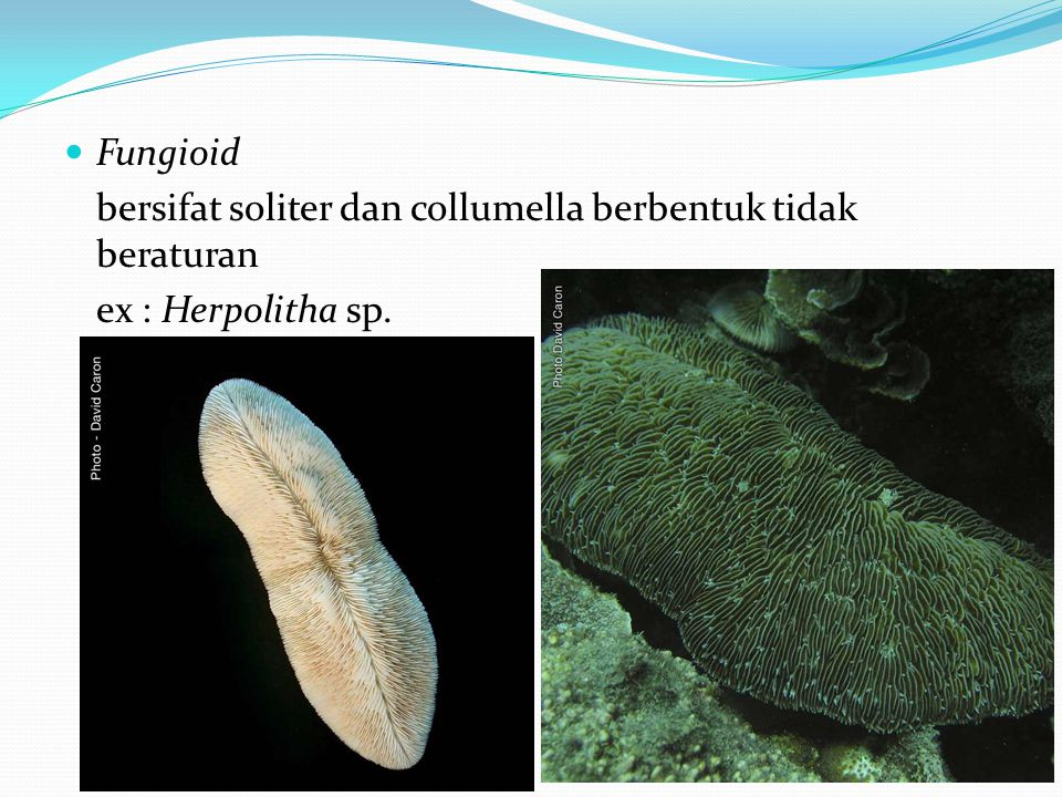  Fungioid bersifat soliter dan collumella berbentuk tidak beraturan ex : Herpolitha sp.