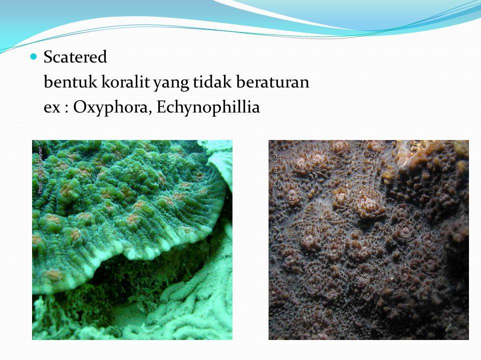  Scatered bentuk koralit yang tidak beraturan ex : Oxyphora, Echynophillia