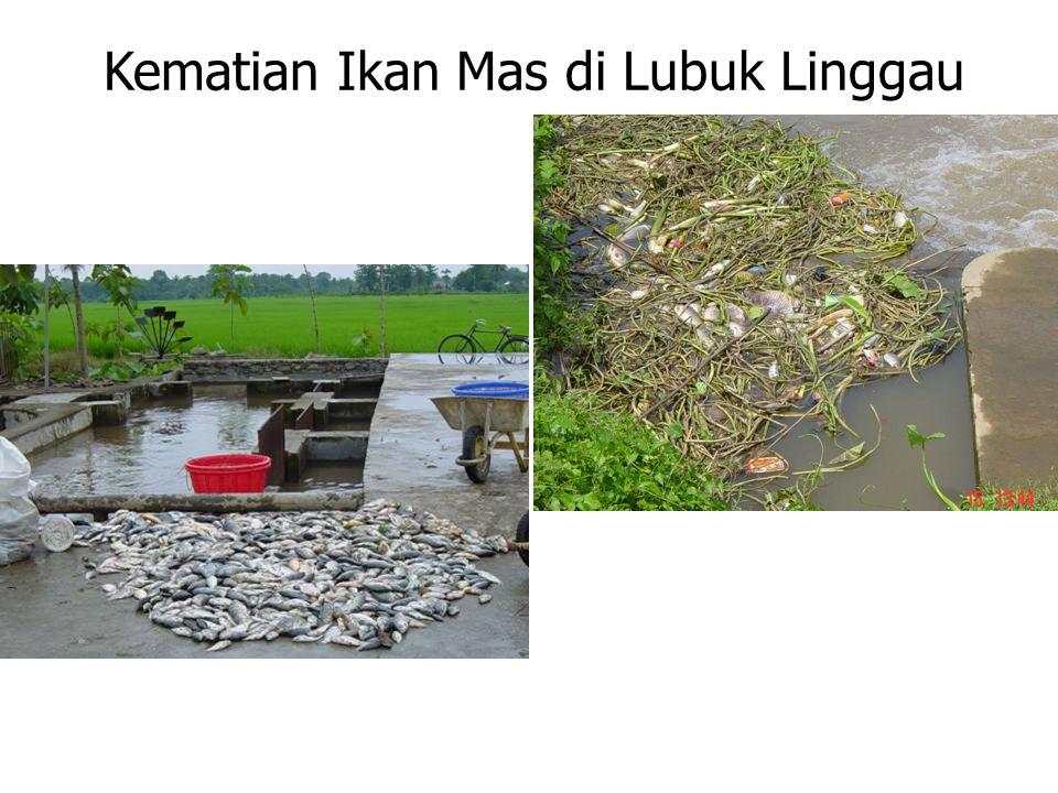 Kematian Ikan Mas di Lubuk Linggau