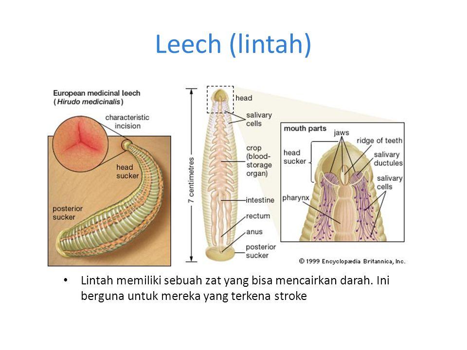 Leech (lintah) • Lintah memiliki sebuah zat yang bisa mencairkan darah. Ini berguna untuk mereka yang terkena stroke