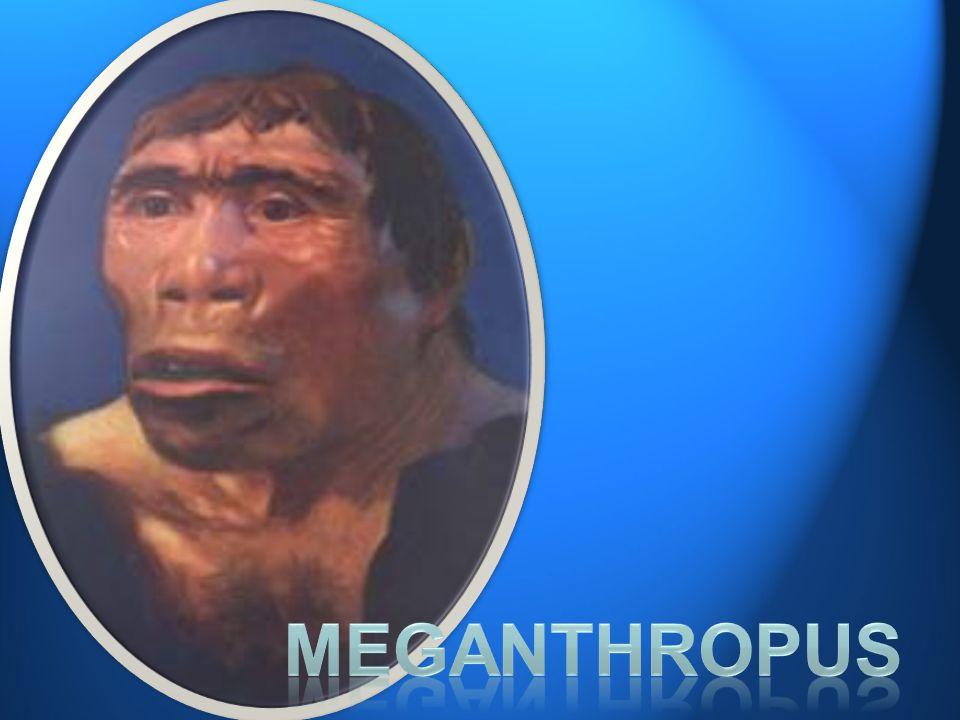 •Ada tiga ras pokok Homo sapiens yang sampai sekarang masih hidup, yaitu ras Mongoloid, ras Kaukasoid dan ras Negroid.