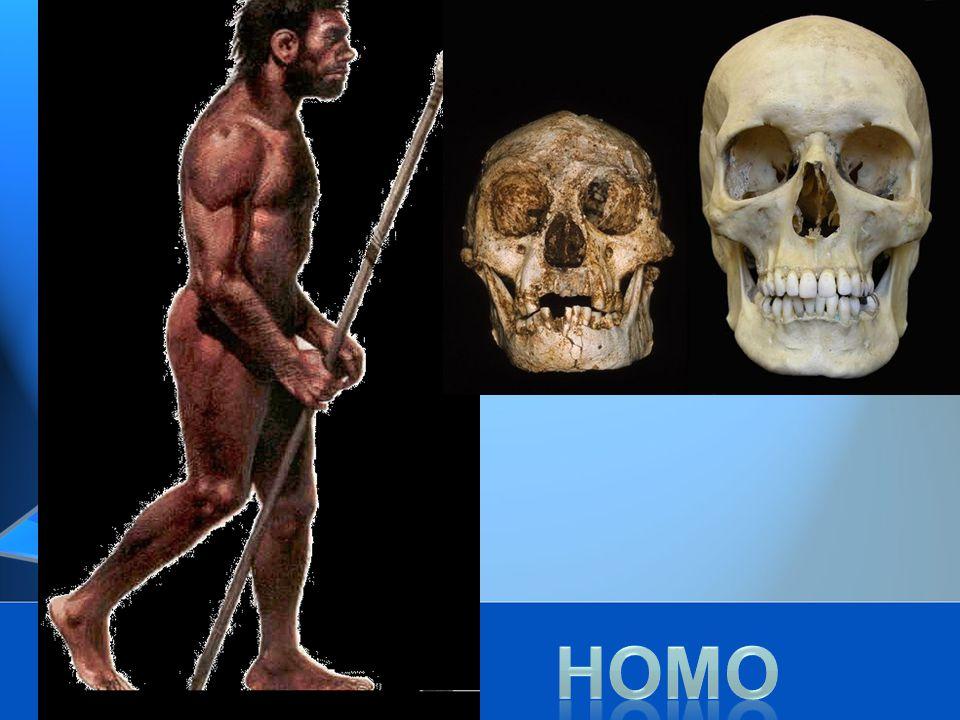 Ciri-ciri Homo: -Ciri fosilnya sudah mirip dengan manusia sekarang, -volume otak berkisar 1350-1450cc.