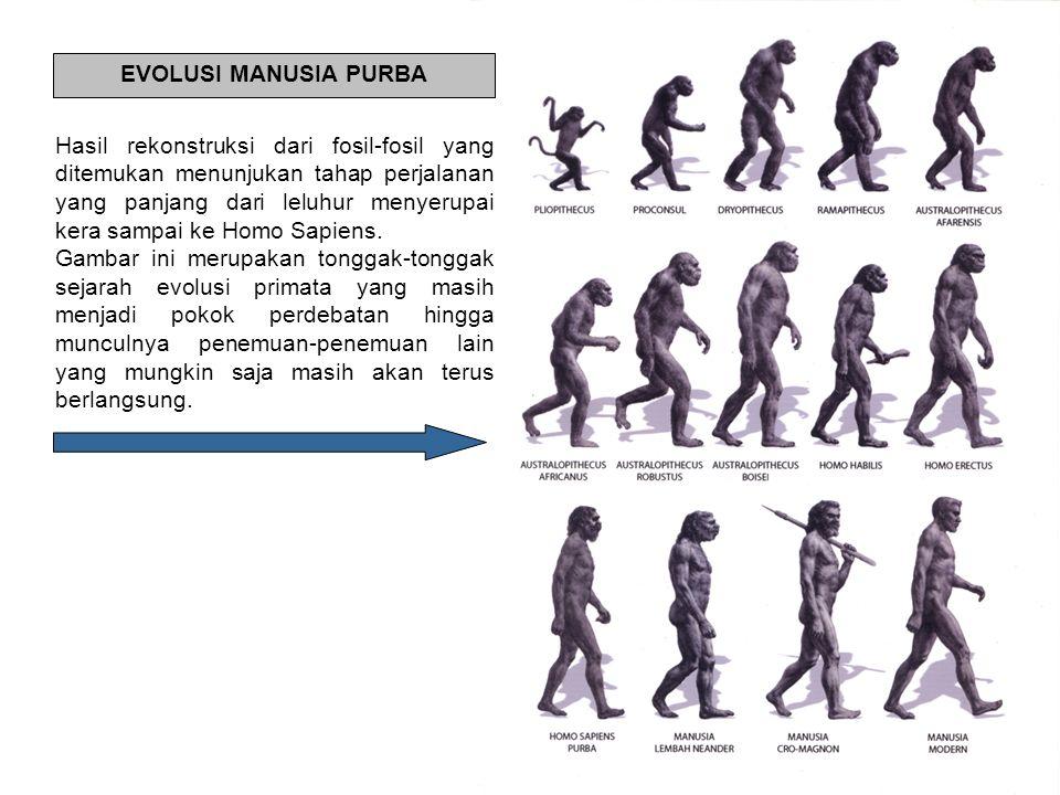 Hasil rekonstruksi dari fosil-fosil yang ditemukan menunjukan tahap perjalanan yang panjang dari leluhur menyerupai kera sampai ke Homo Sapiens. Gamba