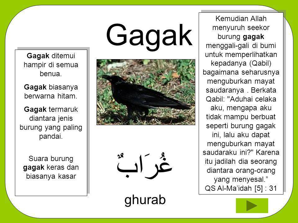 Gagak غُرَابٌ ghurab Kemudian Allah menyuruh seekor burung gagak menggali-gali di bumi untuk memperlihatkan kepadanya (Qabil) bagaimana seharusnya men