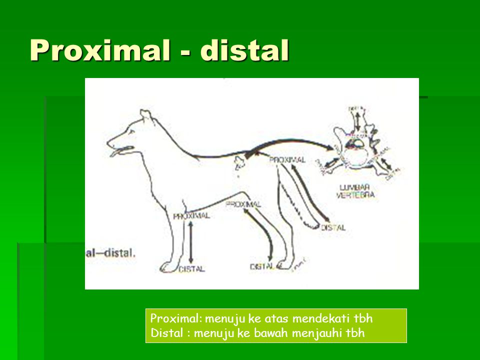 Proximal - distal Proximal: menuju ke atas mendekati tbh Distal : menuju ke bawah menjauhi tbh