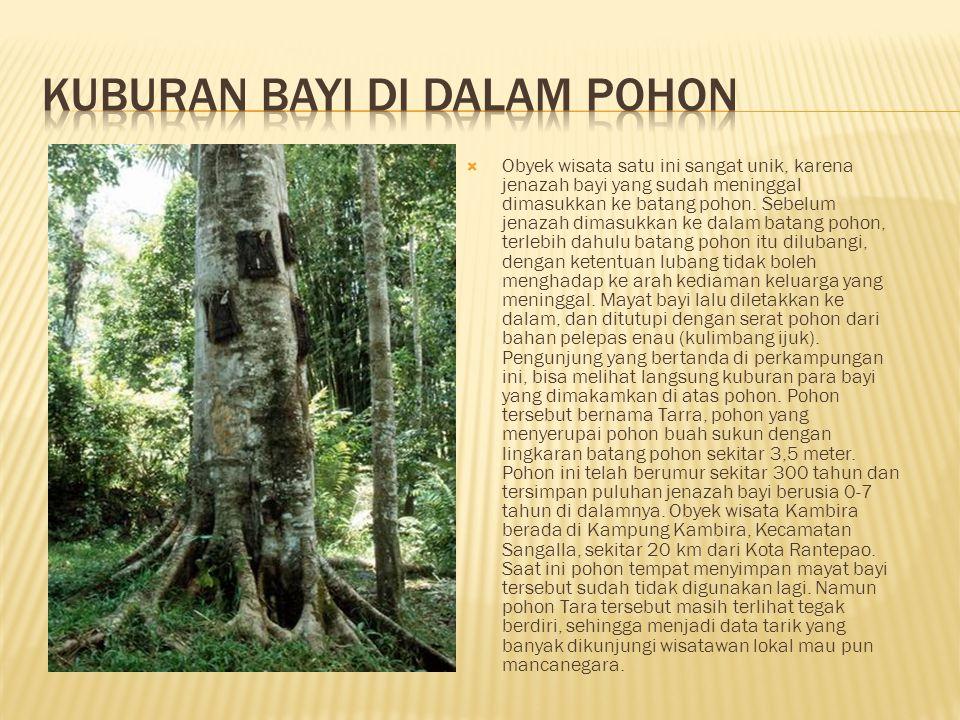  Obyek wisata satu ini sangat unik, karena jenazah bayi yang sudah meninggal dimasukkan ke batang pohon. Sebelum jenazah dimasukkan ke dalam batang p