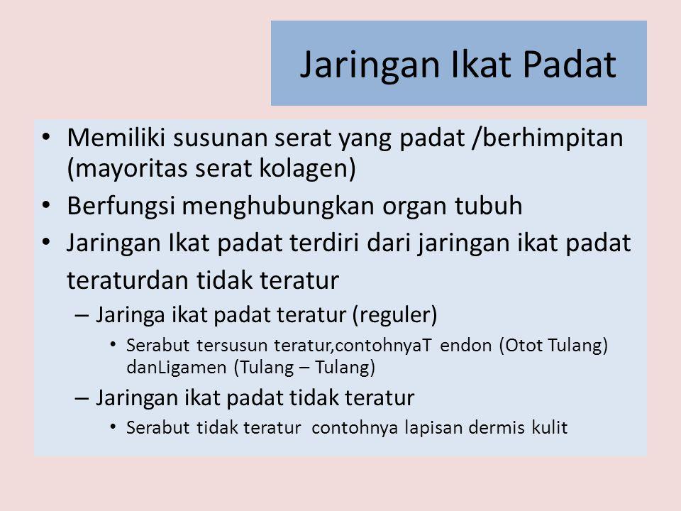 Jaringan Ikat Padat • Memiliki susunan serat yang padat /berhimpitan (mayoritas serat kolagen) • Berfungsi menghubungkan organ tubuh • Jaringan Ikat p
