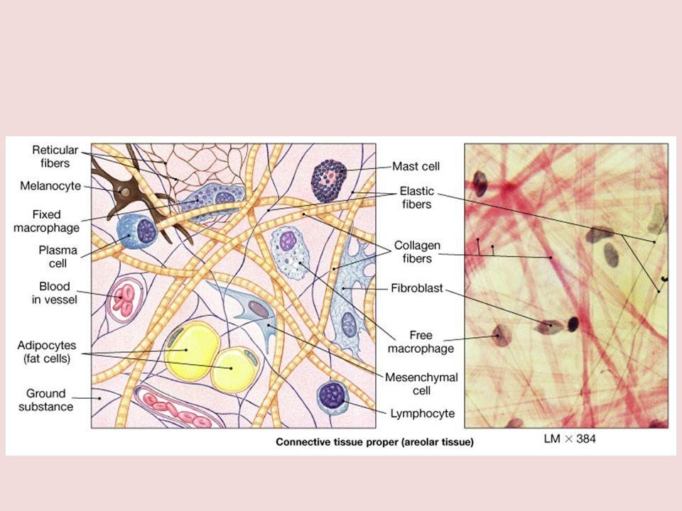 • Jaringan ikat merupakan jaringan yang paling banyak terdapat dalam tubuh • disebut juga connective tissue, jaringan penyokong atau anyaman penyokong.