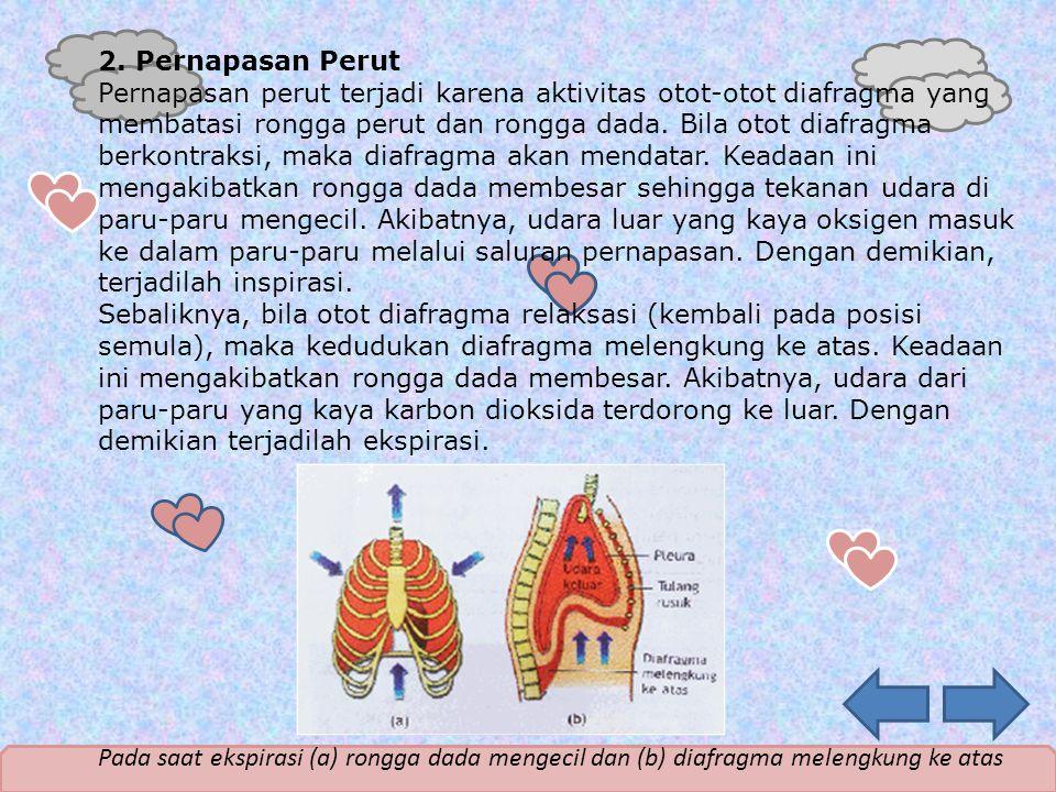 2. Pernapasan Perut Pernapasan perut terjadi karena aktivitas otot-otot diafragma yang membatasi rongga perut dan rongga dada. Bila otot diafragma ber
