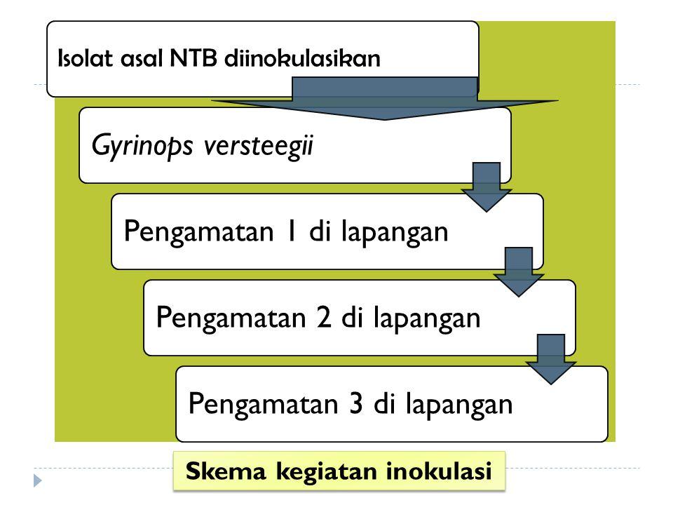 Isolat asal NTB diinokulasikan Gyrinops versteegiiPengamatan 1 di lapanganPengamatan 2 di lapanganPengamatan 3 di lapangan Skema kegiatan inokulasi