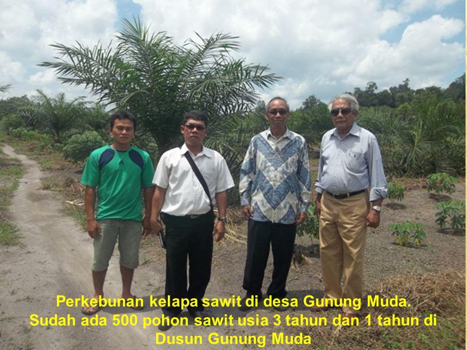 Perkebunan kelapa sawit di desa Gunung Muda. Sudah ada 500 pohon sawit usia 3 tahun dan 1 tahun di Dusun Gunung Muda