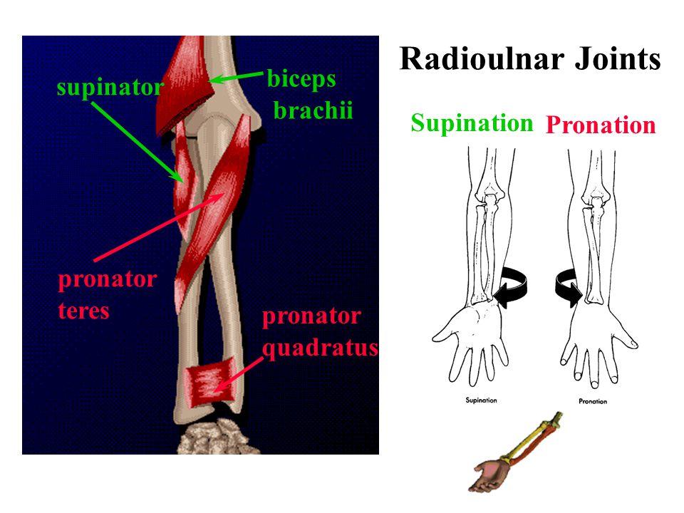 pronator teres pronator quadratus supinator biceps brachii Supination Pronation Radioulnar Joints