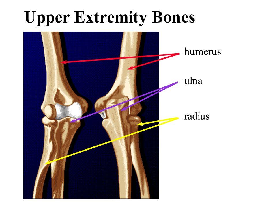 humerus ulna radius Upper Extremity Bones