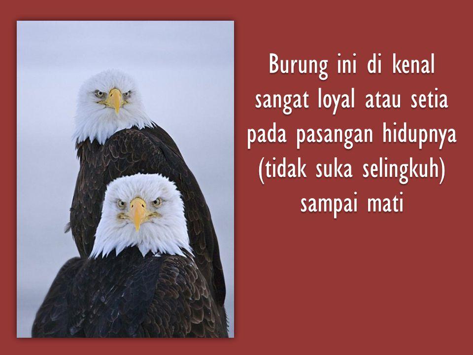 Burung ini di kenal sangat loyal atau setia pada pasangan hidupnya (tidak suka selingkuh) sampai mati