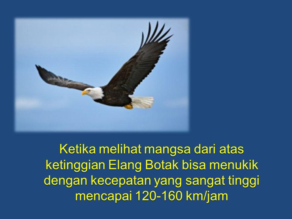 Ketika melihat mangsa dari atas ketinggian Elang Botak bisa menukik dengan kecepatan yang sangat tinggi mencapai 120-160 km/jam
