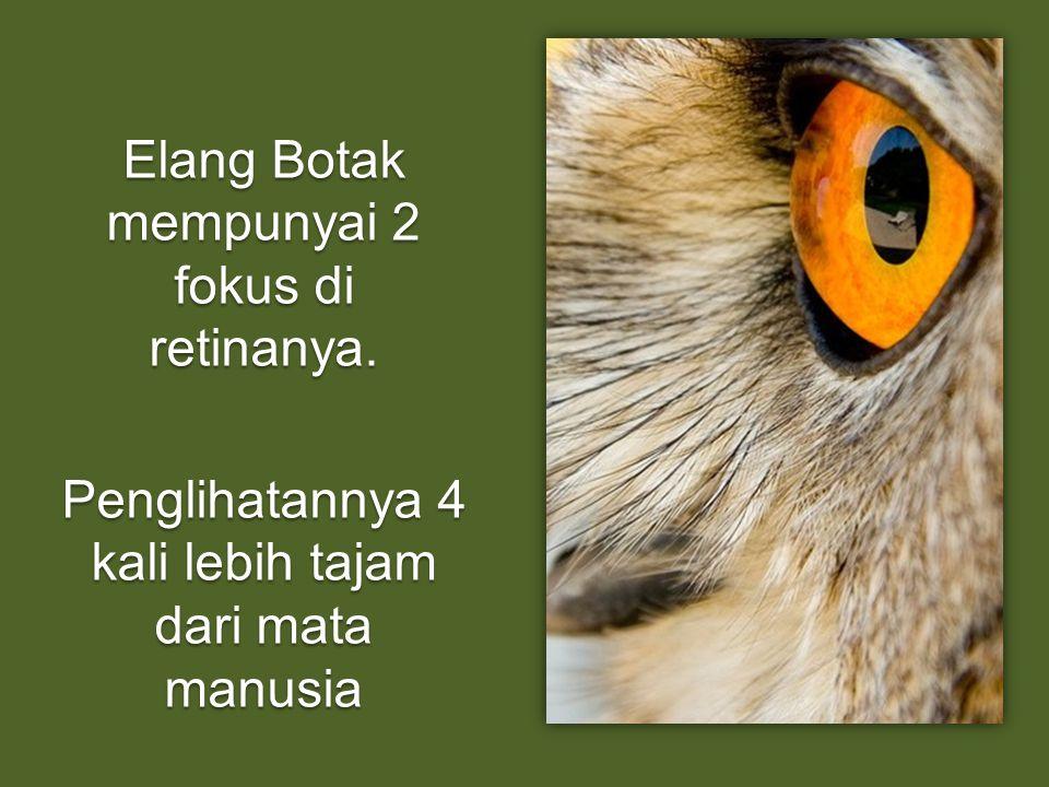 Elang Botak mempunyai 2 fokus di retinanya. Penglihatannya 4 kali lebih tajam dari mata manusia