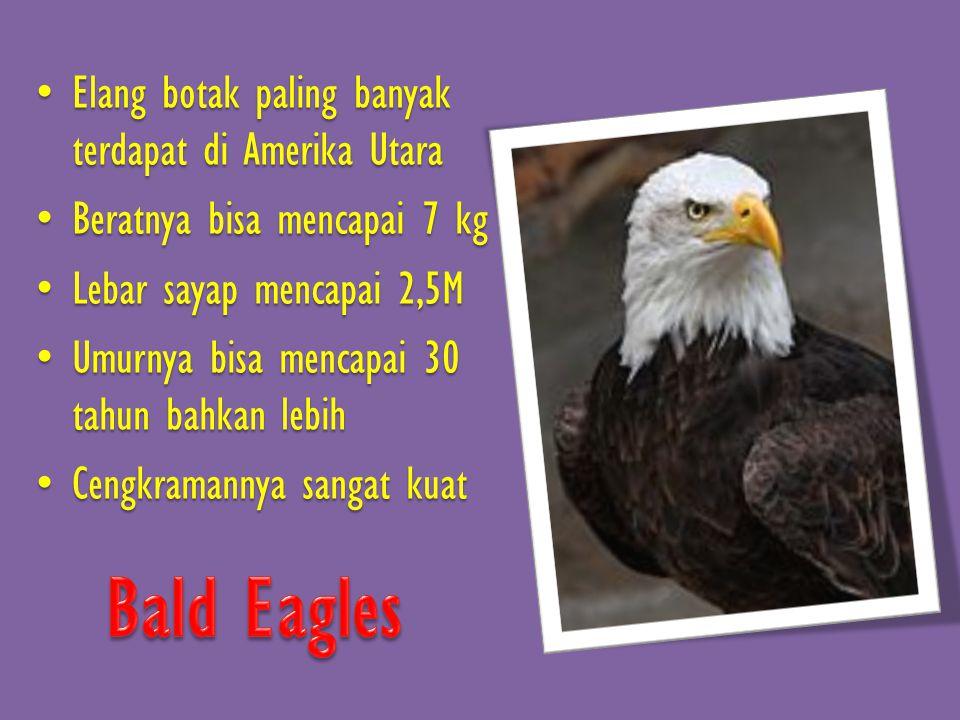 • Elang botak paling banyak terdapat di Amerika Utara • Beratnya bisa mencapai 7 kg • Lebar sayap mencapai 2,5M • Umurnya bisa mencapai 30 tahun bahkan lebih • Cengkramannya sangat kuat