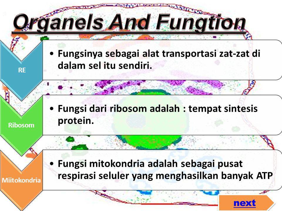 RE •Fungsinya sebagai alat transportasi zat-zat di dalam sel itu sendiri. Ribosom •Fungsi dari ribosom adalah : tempat sintesis protein. Miitokondria