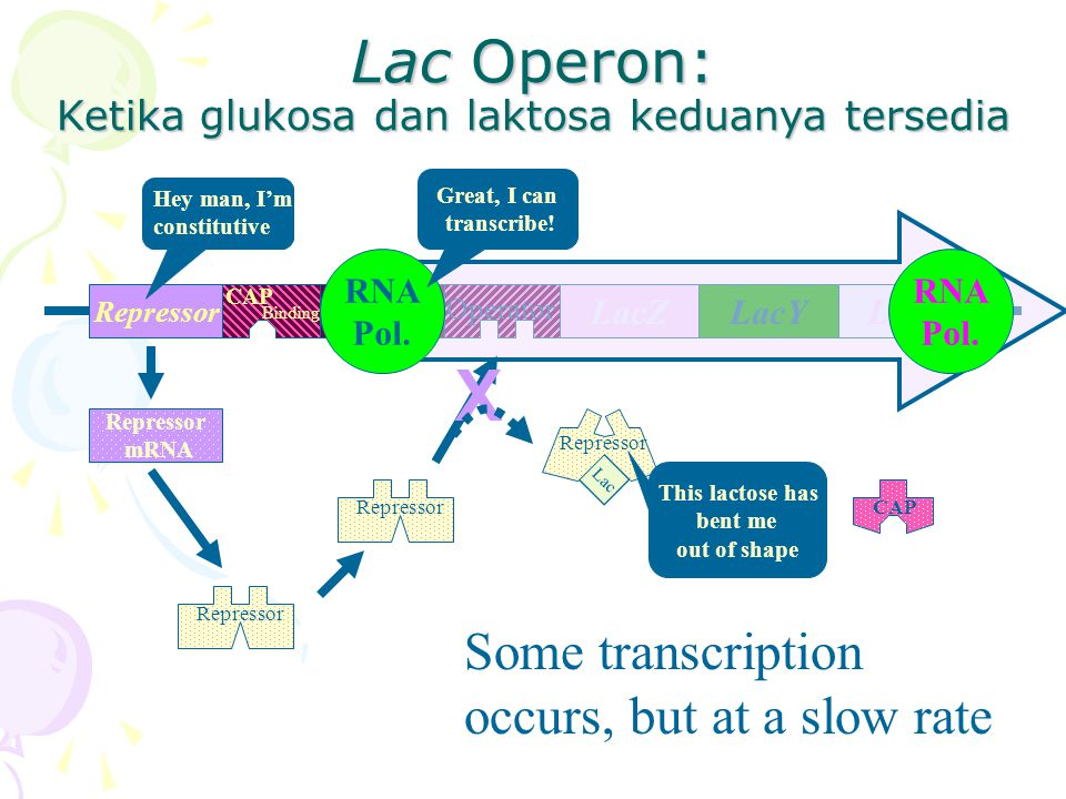 Lac Operon: Ketika glukosa dan laktosa keduanya tersedia RepressorPromoter LacYLacALacZ Operator CAP Binding Repressor mRNA Hey man, I'm constitutive CAP Lac Repressor X RNA Pol.