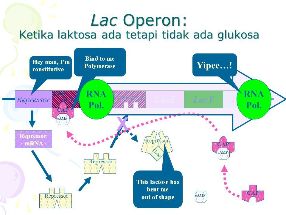 Lac Operon: Ketika laktosa ada tetapi tidak ada glukosa RepressorPromoter LacYLacALacZ Operator CAP Binding Repressor mRNA Hey man, I'm constitutive CAP cAMP Lac Repressor X This lactose has bent me out of shape CAP cAMP CAP cAMP Bind to me Polymerase RNA Pol.