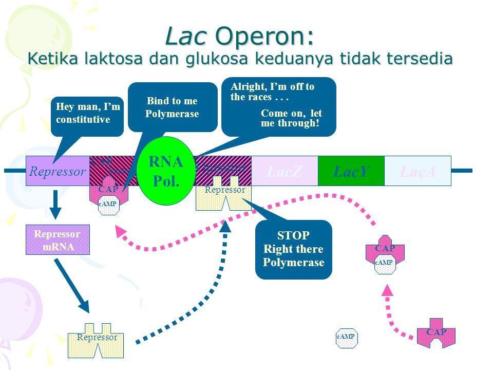 Lac Operon: Ketika laktosa dan glukosa keduanya tidak tersedia RepressorPromoter LacYLacALacZ Operator CAP Binding CAP cAMP CAP cAMP CAP cAMP Bind to me Polymerase RNA Pol.