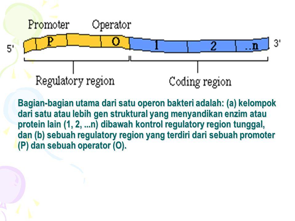 •Kompleks laktose-repressor tidak lama melekat pada operator.