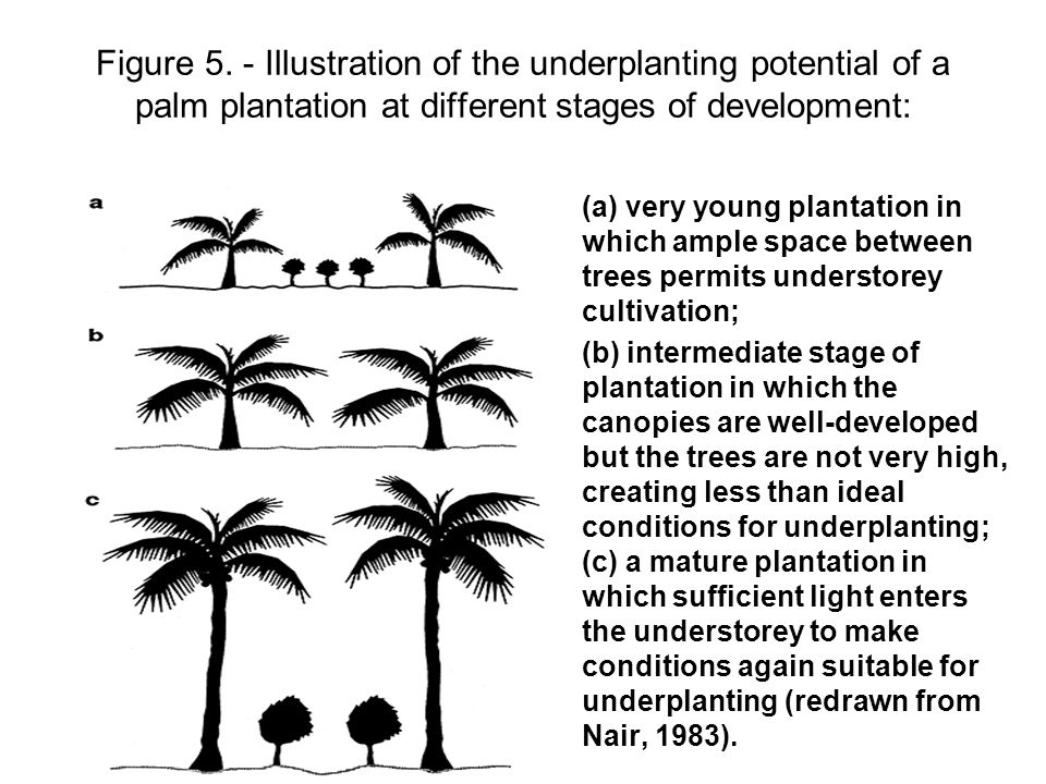 Figure 5. - Illustration of the underplanting potential of a palm plantation at different stages of development: •(a) very young plantation in which a