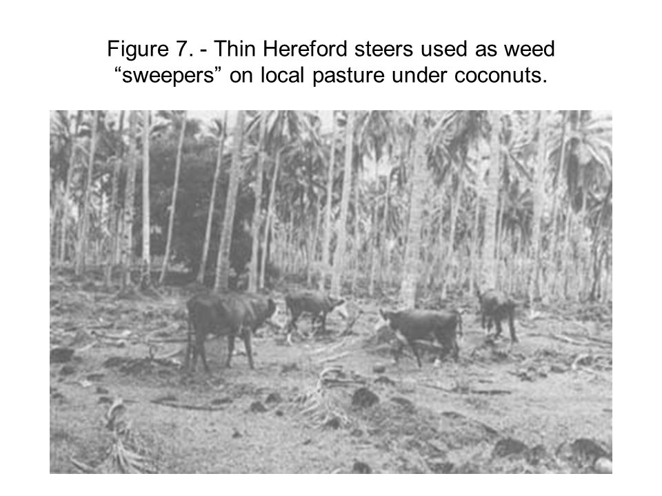 """Figure 7. - Thin Hereford steers used as weed """"sweepers"""" on local pasture under coconuts."""