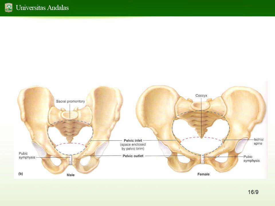 17/9 Extremitas Inferior •Terdiri atas : - femur, terdapat pada regio femoris - patella, terdapat pada regio patellaris - tibia dan fibula, terdapat pada regio cruralis - ossa tarsalia, membentuk pergelangan kaki dan bagian proximal kaki - ossa meta tarsalia, membentuk lengkung kaki - ossa phalangea, membentuk jari kaki