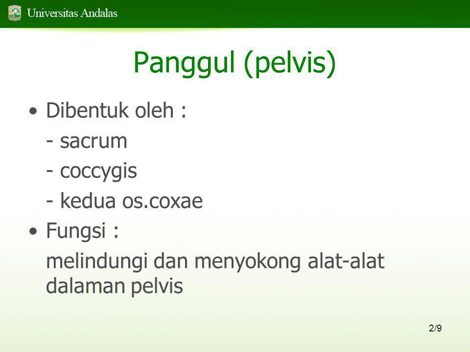 2/9 Panggul (pelvis) •Dibentuk oleh : - sacrum - coccygis - kedua os.coxae •Fungsi : melindungi dan menyokong alat-alat dalaman pelvis