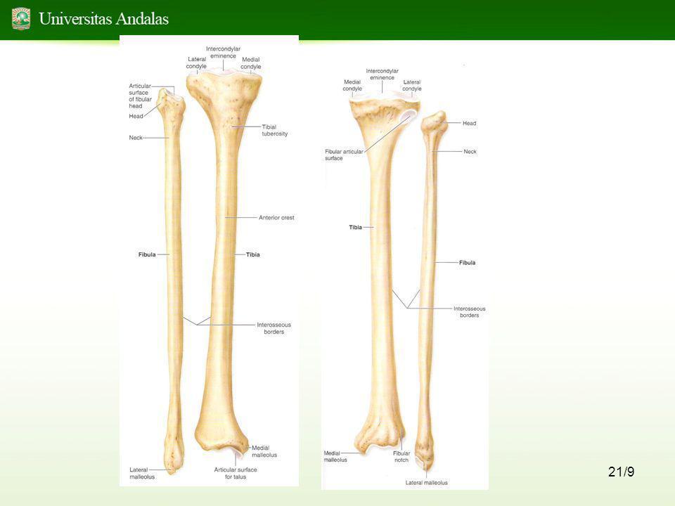 22/9 •Persendian antara tungkai atas dan bawah melalui : - condylus lateral dan medial femur dengan condylus lateral dan medial tibia