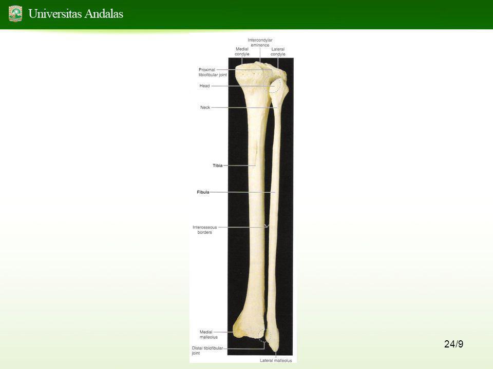 25/9 Patella •Berlokasi didalam m. Quadriceps femoris