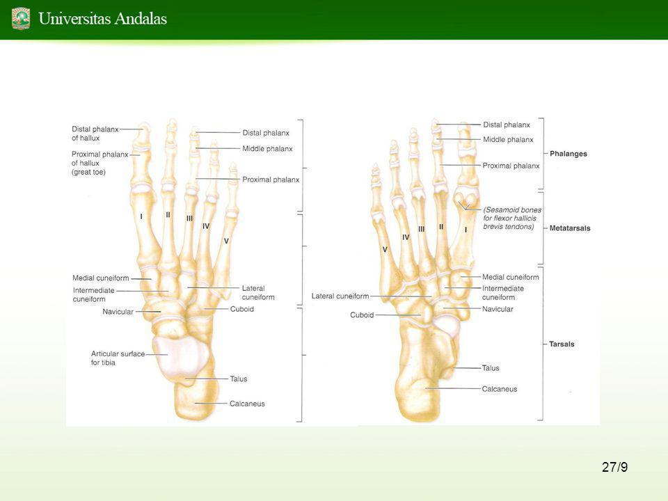 28/9 Lengkung Kaki •Terdiri dari : - lengkung kaki medial - lenkung kaki lateral - lengkung kaki transversal •Fungsi : - menahan berat badan