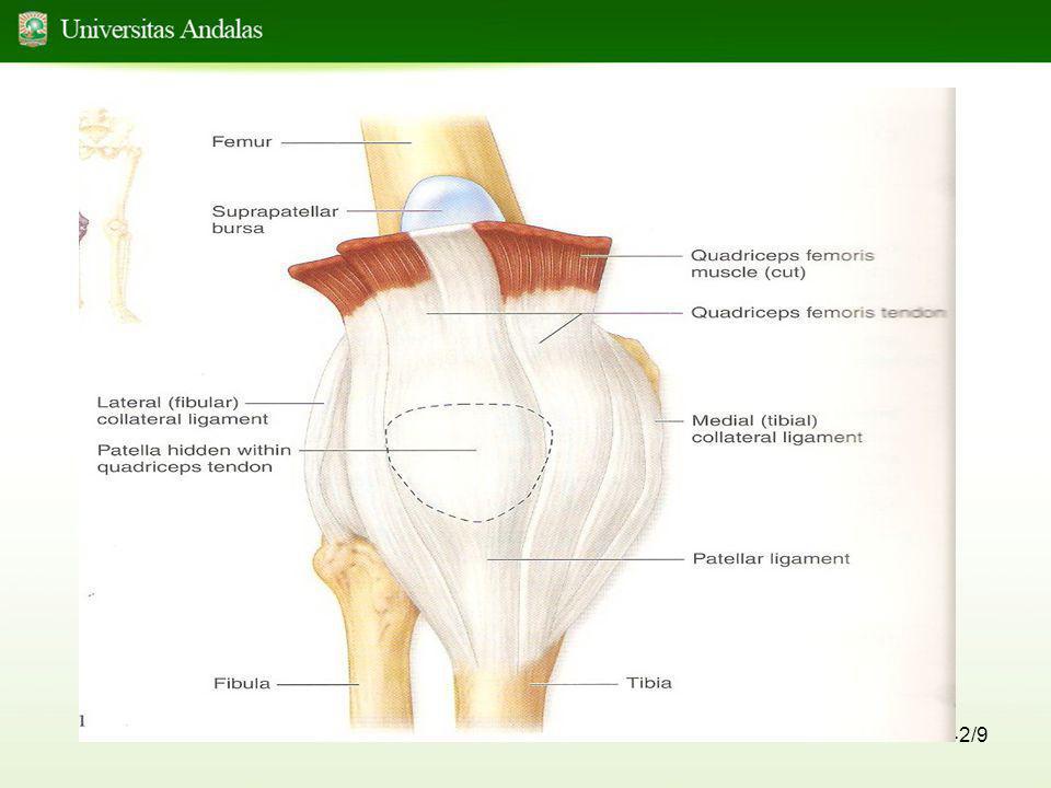 43/9 -Pada bagian dalam capsula articularis dan didalam persendian pada condylus tibia terdapat sepasang bantalan (FAD) Fibrocartilago yang berbentuk huruf C -Bantalan ini dinamakan Meniscus lateralis dan medialis yang menstabilkan persendian ini di medial dan lateral dan selalu berubah tergantung kedudukan femur