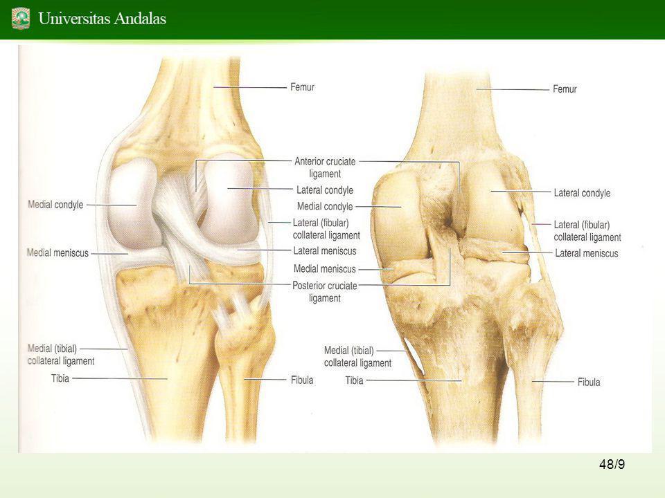 49/9 Dibagian dalam capsula articularis (intra capsularis) ditemukan : -Lig.