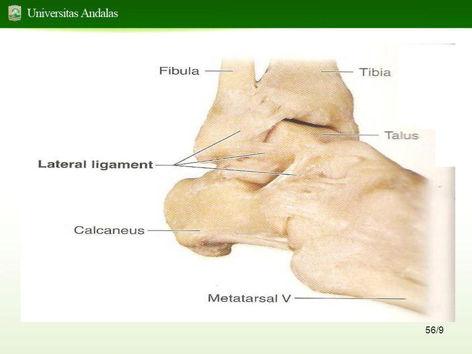 57/9 Persendian tulang kaki Persendian tulang kaki berupa sinovial 1.Persendian intertarsalia persendian diantara tulang-tulang tarsal gerakan.