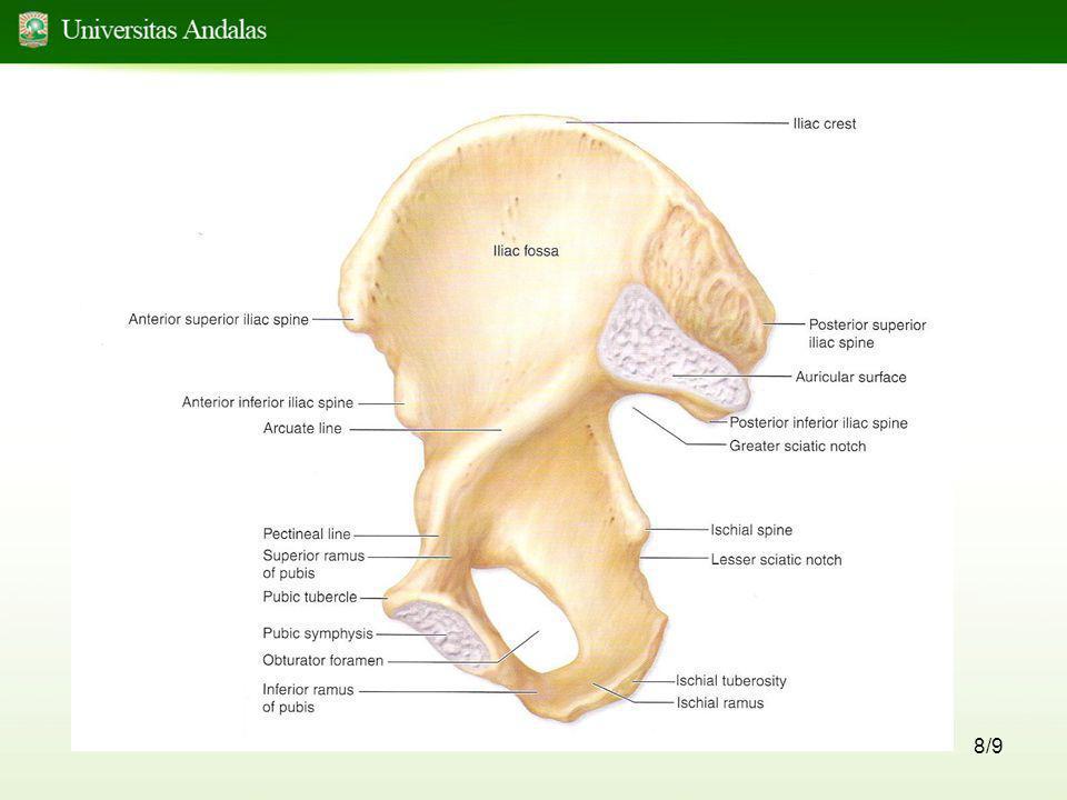 9/9 The Pelvic Brim •Bentuk oval •Memanjang dari tuberculum pubicum, linea pectinea, linea arcuata ke pinggir inferior ala sacralia dan promontorium