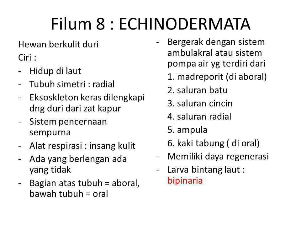 Filum 8 : ECHINODERMATA Hewan berkulit duri Ciri : -Hidup di laut -Tubuh simetri : radial -Eksoskleton keras dilengkapi dng duri dari zat kapur -Sistem pencernaan sempurna -Alat respirasi : insang kulit -Ada yang berlengan ada yang tidak -Bagian atas tubuh = aboral, bawah tubuh = oral -Bergerak dengan sistem ambulakral atau sistem pompa air yg terdiri dari 1.