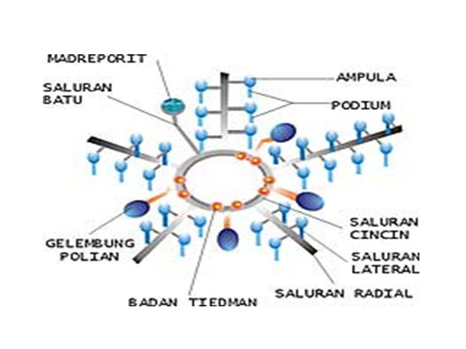 Klasifikasi : Echinodermata di bagi 5 kelas Dasar : bentuk tubuh 1.Asteroidea (bintang laut) 2.Ophiuroidea (bintang ular) 3.Echinoidea (landak laut) 4.Crinoidea (lilia laut) 5.Holothuroidea (mentimun laut) 1.ASTEROIDEA (bintang laut) - lengan 5 atau 10 - kulit dilengkapi dengan pediselaria (catut di kulit) - mulut di bawah (oral) contoh : - Solaster - Asterias - Bintang laut biru 2.