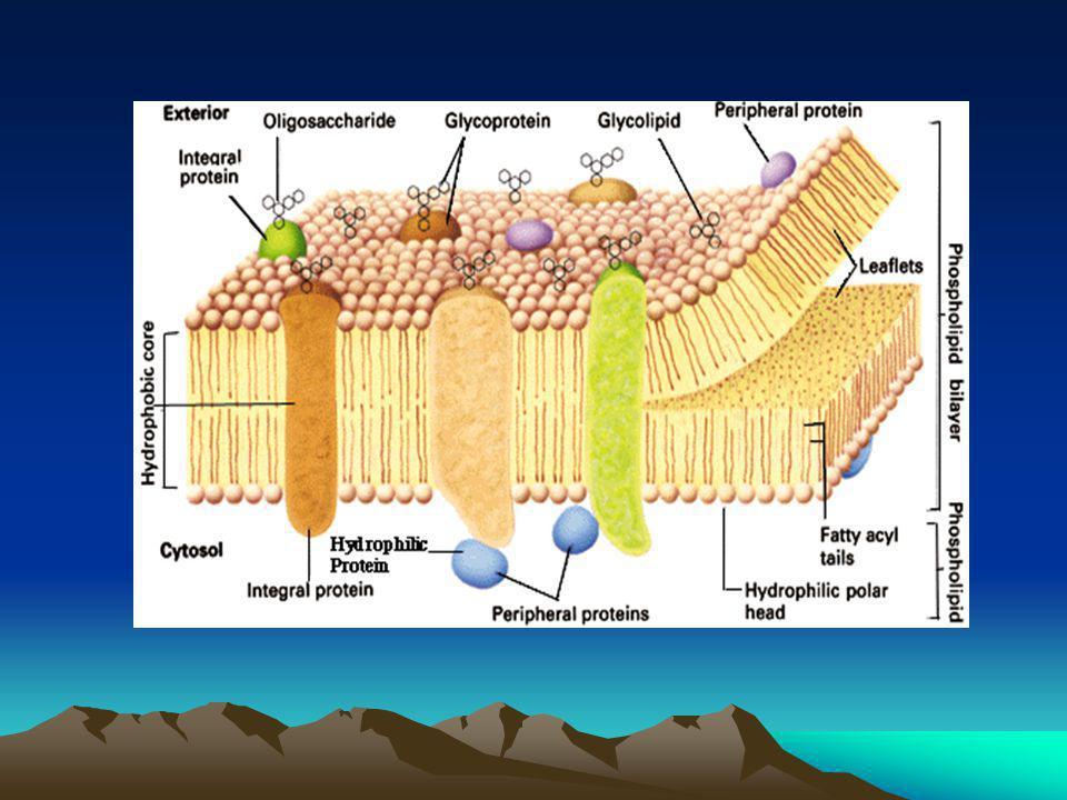 Komponen Sitoplasma 1.Mitokondria tampak spt batang/filamen yg bergerak konstan terdiri dari membran terluar(halus) & membran terdalam membentuk lipatan  Krista Matriks  berisi protein,DNA,RNA, & ribosom