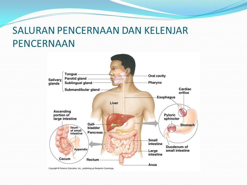 MATERI PEMBELAJARAN (Lanjutan.....)  Proses pencernaan makanan manusia meliputi pencernaan Karbohidrat, Protein dan Lemak.